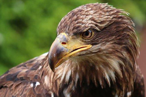 Golden Eagle, Eagle Head, Raptor, Bird, Bird Of Prey