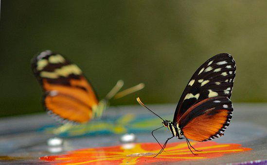 Heliconius Hecale, Butterfly Garden, Butterfly, Bug