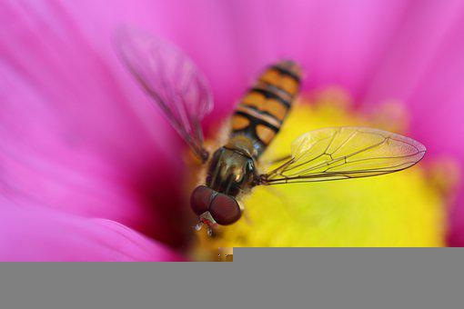 Hoverfly, Macro, Pollen, Pollinate, Pollination, Insect