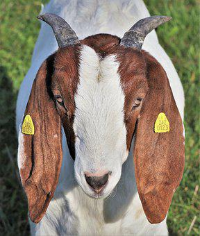 Goat, Boer Goat, Horned, Livestock, Farm, Animal
