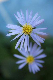 Flowers, Petals, Lilac Daisies, Flora, Floral, Botany