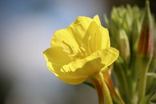 Pink Evening Primrose, Petals, Yellow Flower