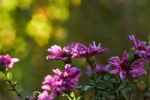 Asters, Flowers, Garden, Bloom, Blossom, Pink Flowers
