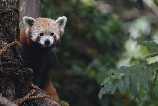 Nature, Animal, Red Panda, Mammal, Wildlife, Fauna