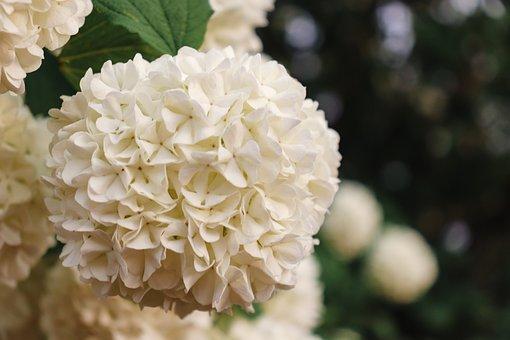 Plant, Flowers, Guelder Rose, White Flowers, Shrub