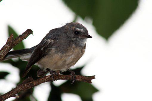 Grey Fantail, Bird, Perched, Small Bird