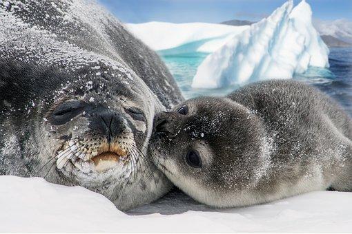Seals, Animals, Snow, Ice, Pup, Baby Seal, Mammals