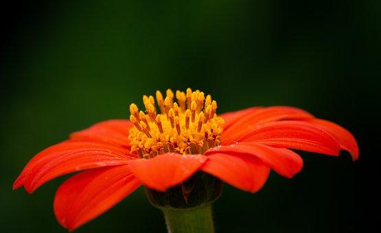 Tithonia Rotundifolia, Mexican Sunflower, Petals