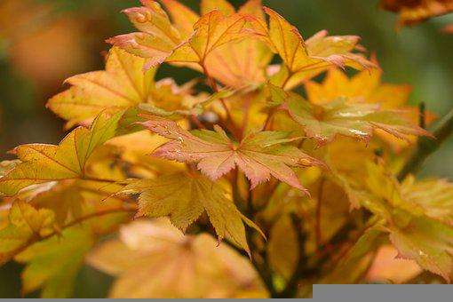 Autumn, Leaves, Foliage, Tree, Branches, Autumn Leaves