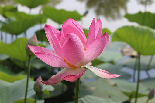 Plant, Flower, Lotus, Petals, Pink Flower, Water Lily