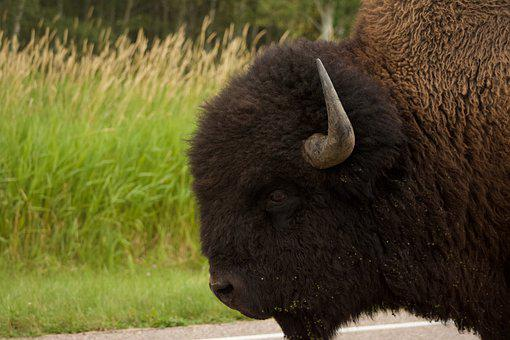 Buffalo, Bison, Animal, Horns, Nature, Wild, Prairie