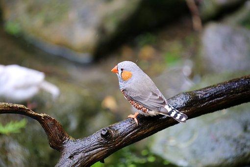 Animal, Bird, Branch, Zebra Finch, Avian