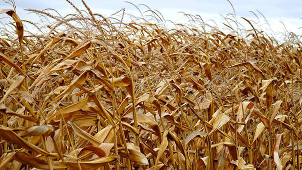 Corn, Cornfield, Agriculture, Food, Autumn, Cereals