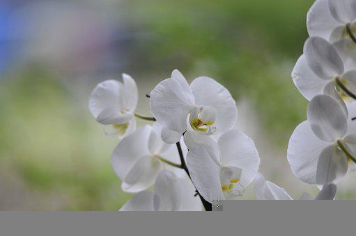 Orchids, White Flowers, Blossom, Bloom, Flowers