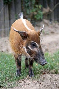 Animal, Pig, Snout, Red River Hog, Bush Pig, Mammal