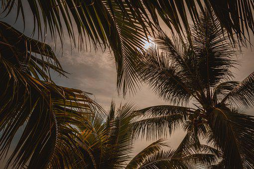 Palm Trees, Leaves, Coconuts, Coconut Trees