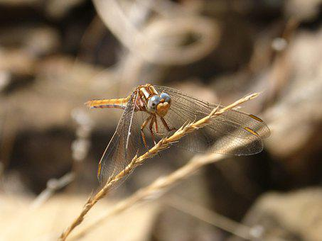 Dragonfly, Sympetrum Striolatum, Insect