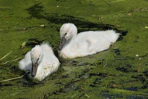 Nature, Swans, Cygnets, Flappers, Young Swans
