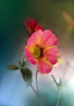 Garden, Plant, Flower, Surfinia, Pink Flower, Bloom
