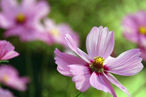 Flowers, Cosmos, Cosmea, Pink Petals, Pink Flowers