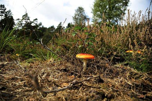Mushroom, Fly Agaric, Meadow, Red Mushroom, Fly Amanita