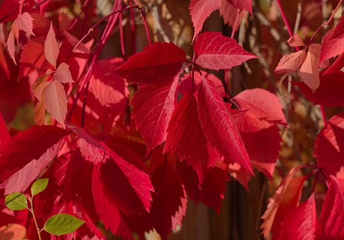 Leaves, Foliage, Red, Red Leaves, Red Foliage
