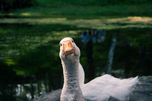 Goose, Beak, Bird, Animal, Waterfowl, Water Bird