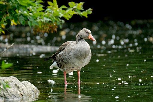 Goose, Greylag Goose, Lake, Bird, Waterfowl, Water Bird