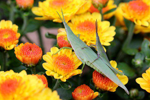 Flowers, Insects, Long-headed Grasshoppers