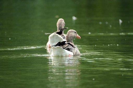 Goose, Greylag Goose, Lake, Birds, Waterfowl, Animals