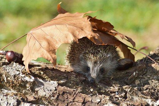 Hedgehog, Animal, Nature, Spiny Mammal, Mammal