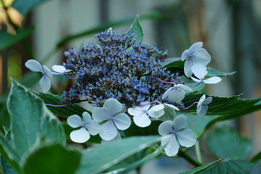 Garden, Plant, Flowers, Hydrangea, Hydrangea Strigosa