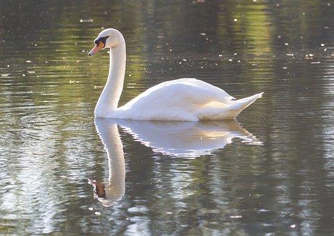 Swan, Bird, Lake, Elegant, Water Bird, Water, Plumage