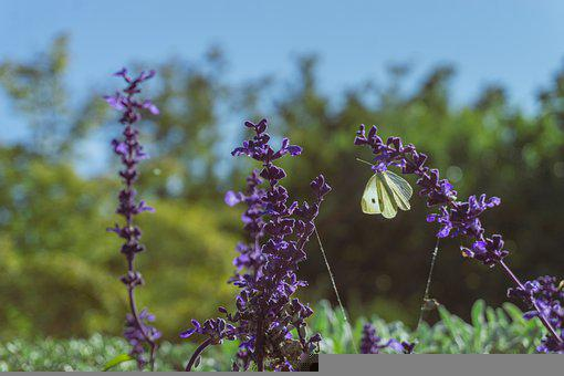 Lavenders, Butterfly, Pollinate, Pollination, Flowers