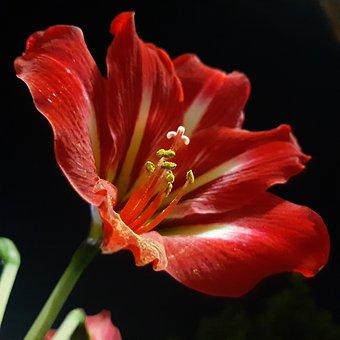 Lily, Flower, Red Lily, Pistils, Stamens, Stigma