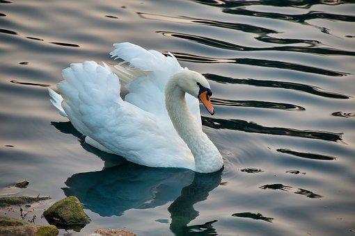 Lake, Bird, Swan, Mute Swan, White Swan, Waterfowl