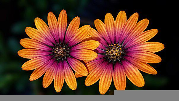 African Daisies, Flowers, Pair, Bicolored Flowers