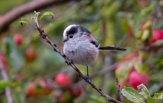 Bird, Animal, Long Tailed Tit, Long Tailed Bushtit