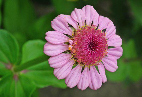 Flower, Zinnia, Petals, Bloom, Blossom, Pink Flower