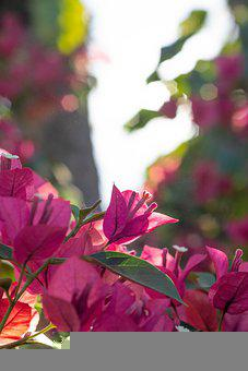 Bougainvillea, Flowers, Leaves, Pink Flowers, Bloom