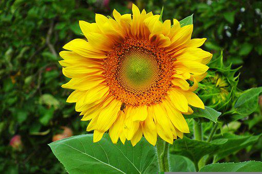 Flower, Sunflower, Yellow, Bloom, Blossom, Flora