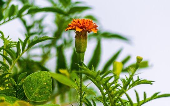 Flower, Petals, Leaves, Foliage, Buds, Bush, Garden