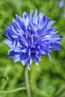 Flower, Cornflower, Blossom, Blue, Blue Flower