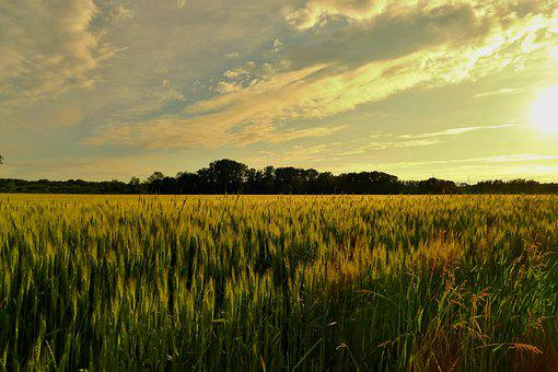 Fields, Wheat, Crop, Wheat Field, Agriculture