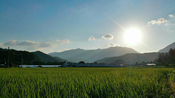 Rice Paddies, Plantation, Agriculture, Cultivation
