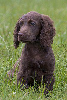 Puppy, Dog, Pet, Adorable, Brown Fur, Brown Dog