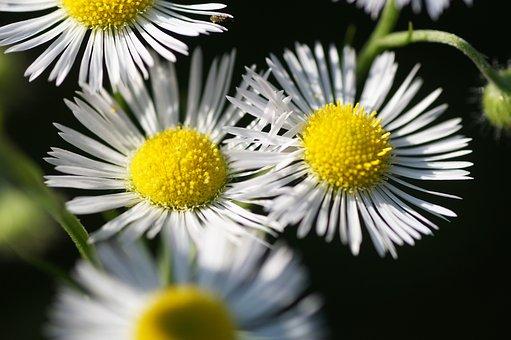 Turan Annual, Erigeron Annuus, Flowers, White Flowers