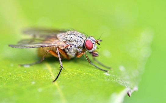 Fly, Insect, Leaf, Macro, Close Up, Entomology, Eye
