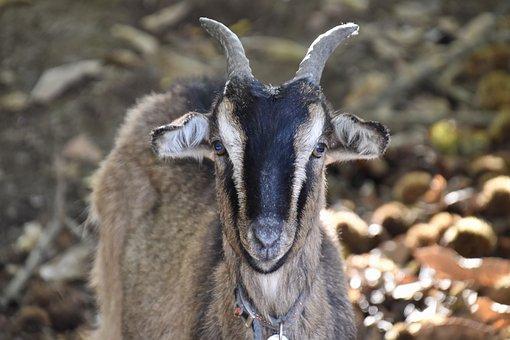 Goat, Ruminant, Herbivore, Mammal, Animal, Horns, Fauna
