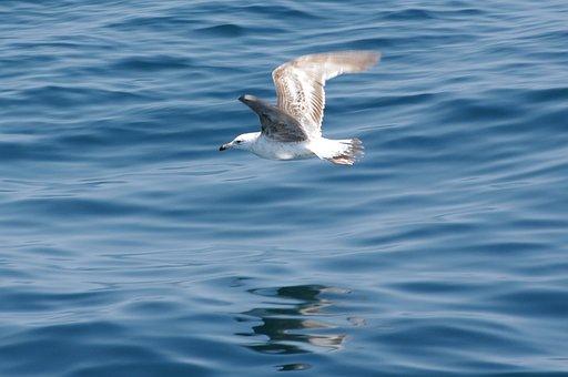 Seagull, Flight, Bird, Sea, Seabird, Water Bird, Wings
